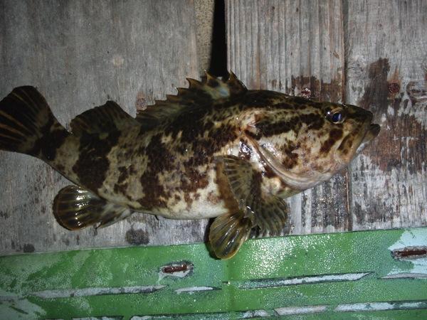 釣れる魚⑥ ロックフィッシュの最高のターゲット!タケノコメバル(ベッコウゾイ)